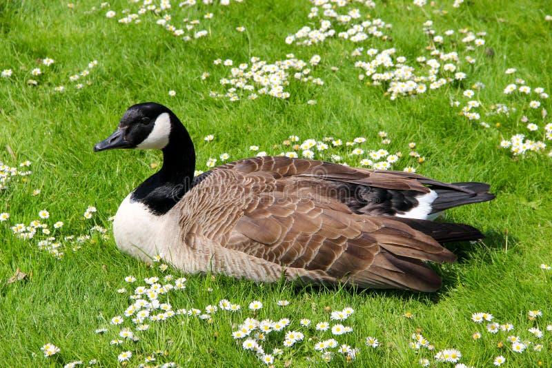 Un canadensis de Branta d'oie de Canada sur l'herbe en parc photo stock