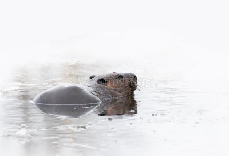 Un canadensis norteamericano del echador del castor que nada para arriba fuera de un agujero helado para encontrar la madera en p foto de archivo libre de regalías