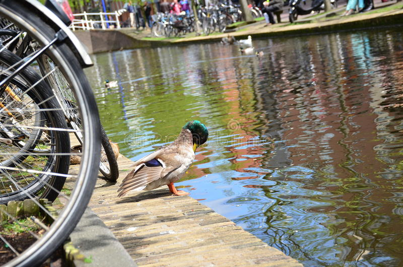Un canard appréciant l'eau du canal de Delft, Pays-Bas images libres de droits
