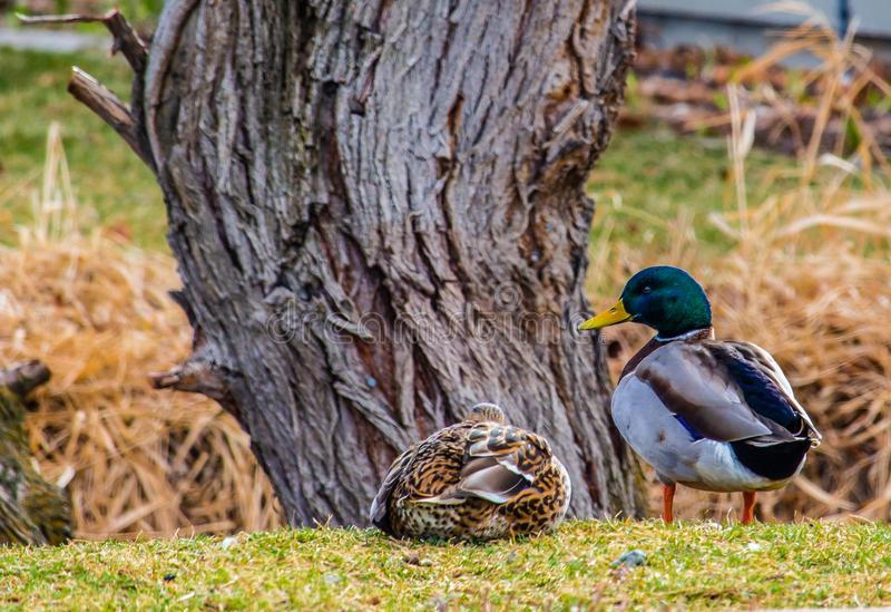 Un canard de canard et de poule le prenant facile sur l'herbe à côté d'une crique devant un arbre images libres de droits