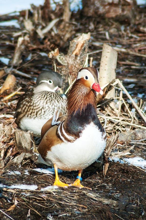 Un canard de mandarine rare sur un étang de Litovel photographie stock libre de droits