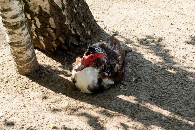 Un canard de muscovy sauvage avec la tête rouge photos libres de droits