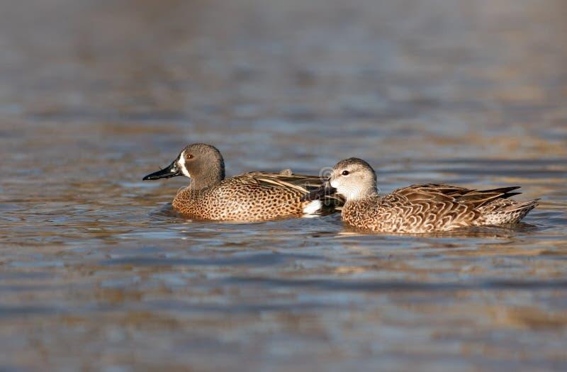 Un canard et un bain de Teal Bleu-à ailes par poule dans une eau arrière au printemps photo libre de droits