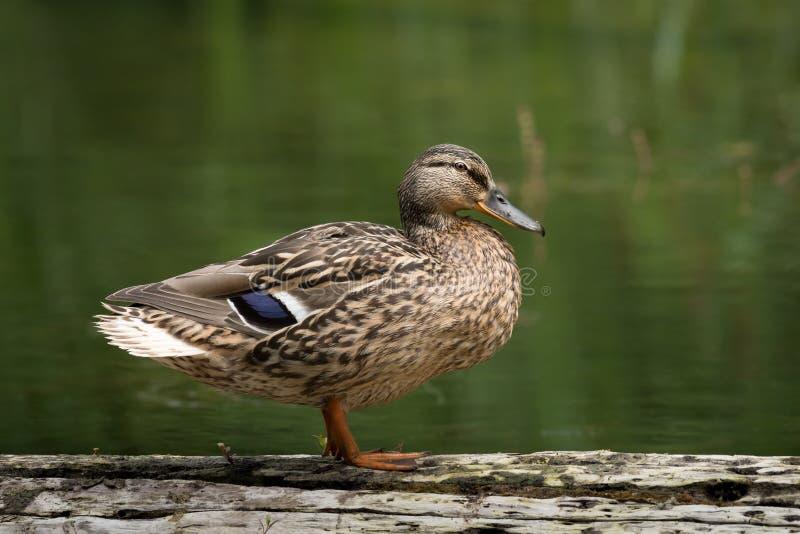Un canard femelle se tenant sur un morceau de bois images stock