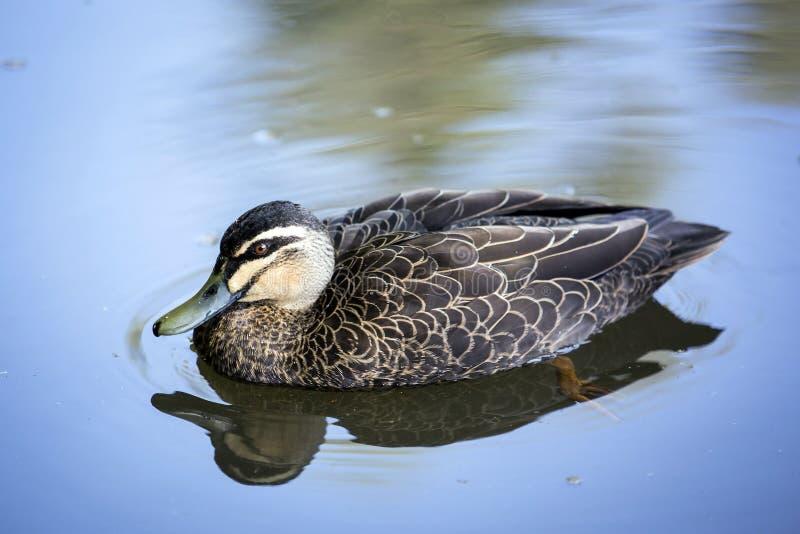 Un canard flottant par les eaux immobiles photo libre de droits