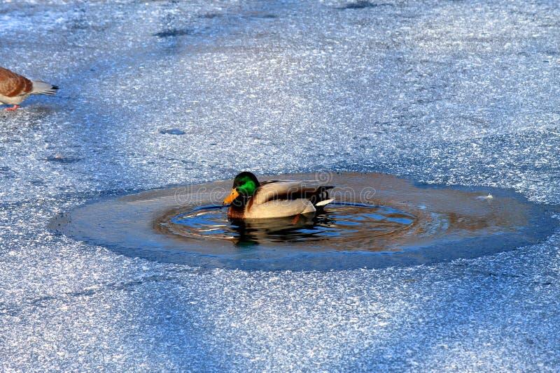 Un canard nage dans le lac parmi la glace congelée en hiver images libres de droits
