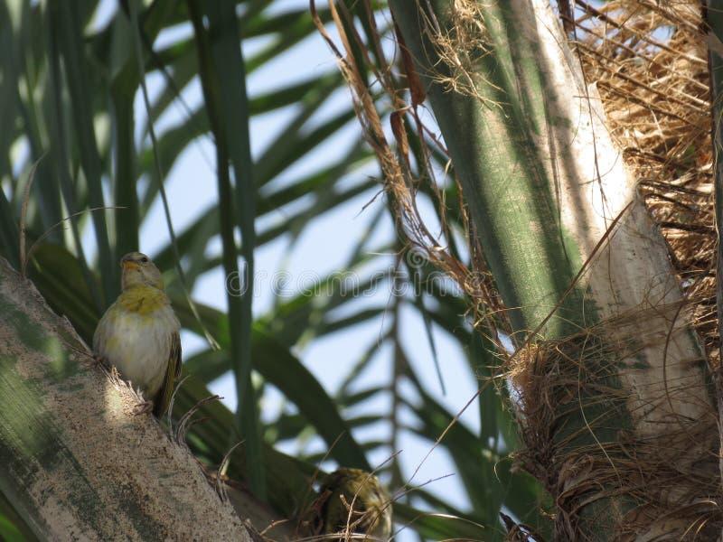 Un canarino delle coppie - uccello fotografia stock