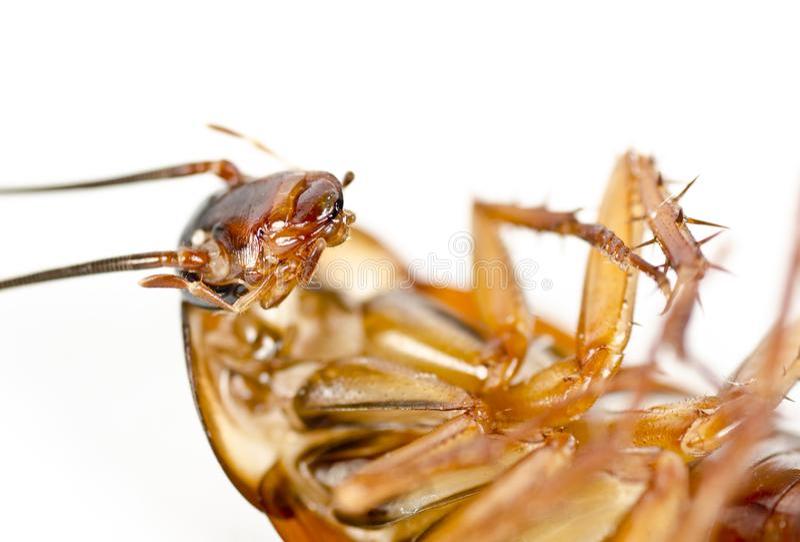 Un cancrelat mort, parasite, macro de vermine image stock