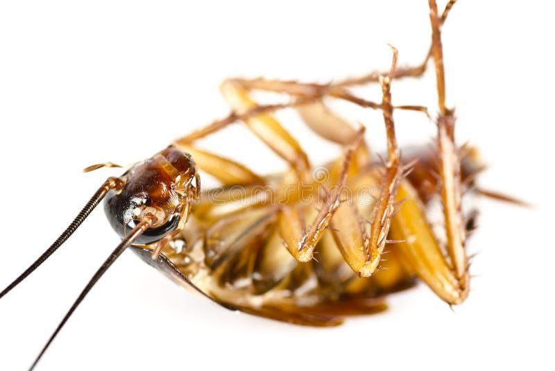 Un cancrelat mort, parasite, macro de vermine images stock