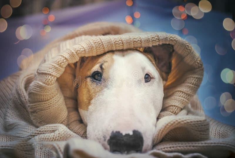 Un cane accoglie favorevolmente il nuovo anno fotografie stock libere da diritti