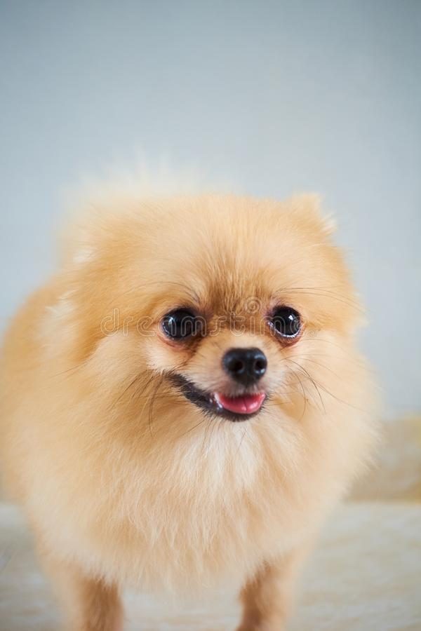 Un cane allegro che posa per le foto fotografia stock