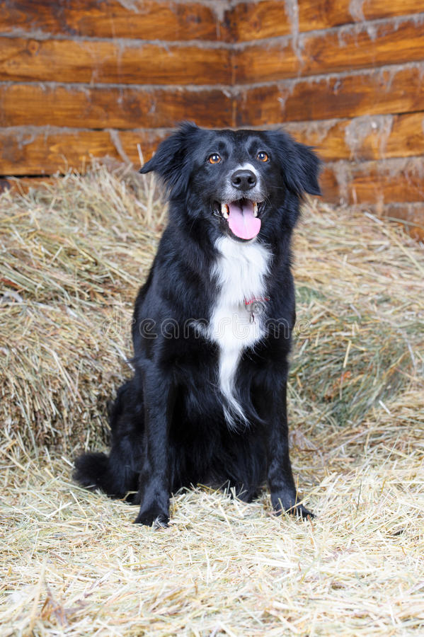 Un cane in bianco e nero del collie di bordo, colpo dello studio immagini stock libere da diritti