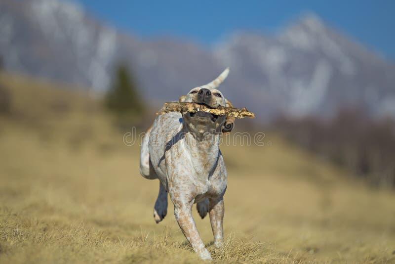 Un cane bianco esegue felice e libero fotografia stock libera da diritti