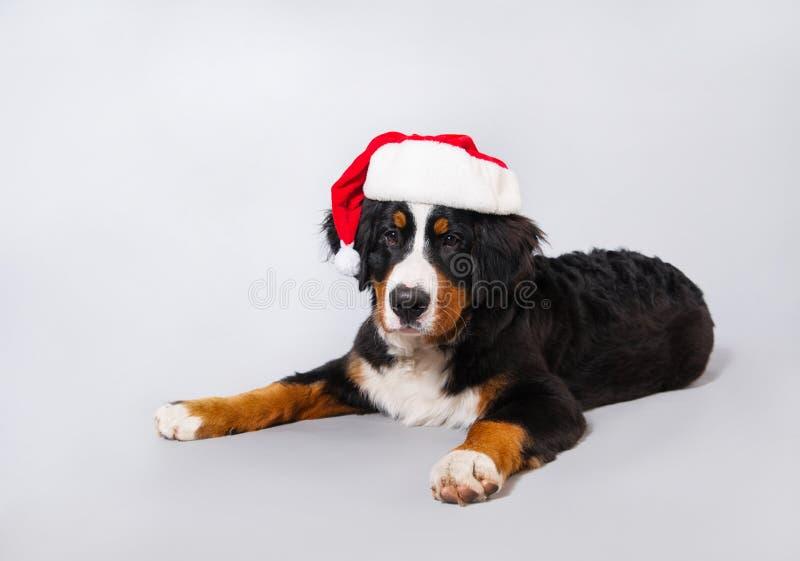 Un cane in un cappello di Santa Bello pastore di Bernese del cucciolo su fondo grigio Nuovo anno fotografia stock libera da diritti
