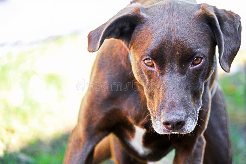 Un cane che esamina severo la macchina fotografica fotografie stock