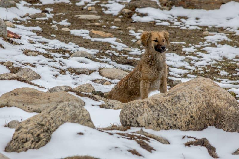 Un cane che gioca e che cerca l'alimento in neve ed in rocce dell'Himalaya orientale fotografie stock libere da diritti