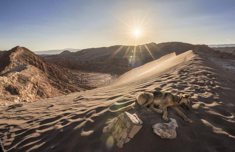 Un cane che si rilassa al tramonto nel deserto di Atacama fotografia stock