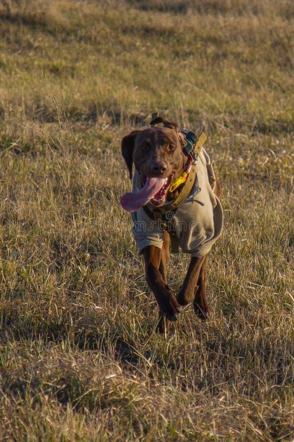Un cane da caccia del deutsch kurzhaar immagini stock libere da diritti