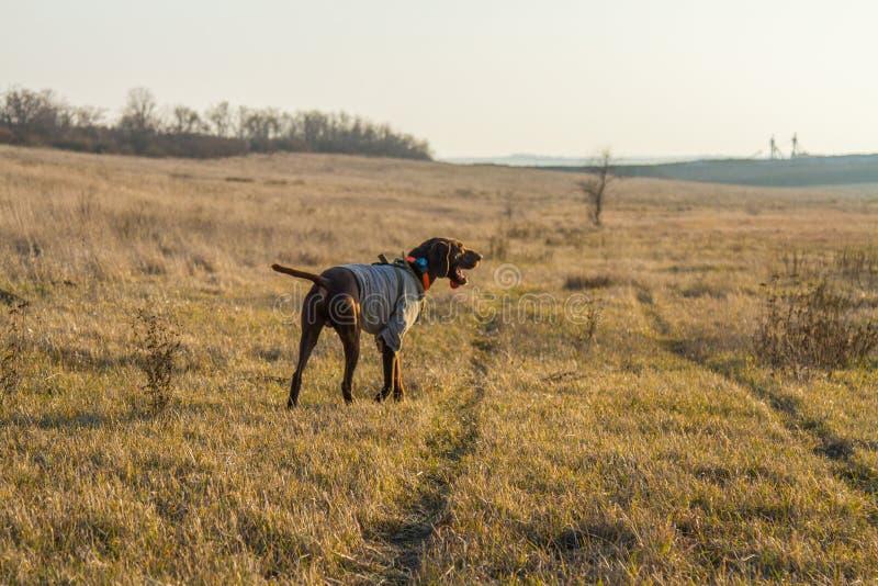 Un cane da caccia del deutsch kurzhaar immagine stock libera da diritti