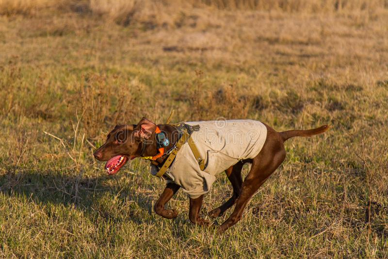 Un cane da caccia del deutsch kurzhaar immagini stock