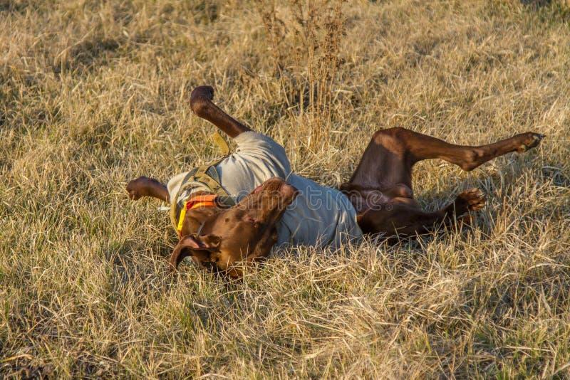 Un cane da caccia del deutsch kurzhaar fotografia stock libera da diritti