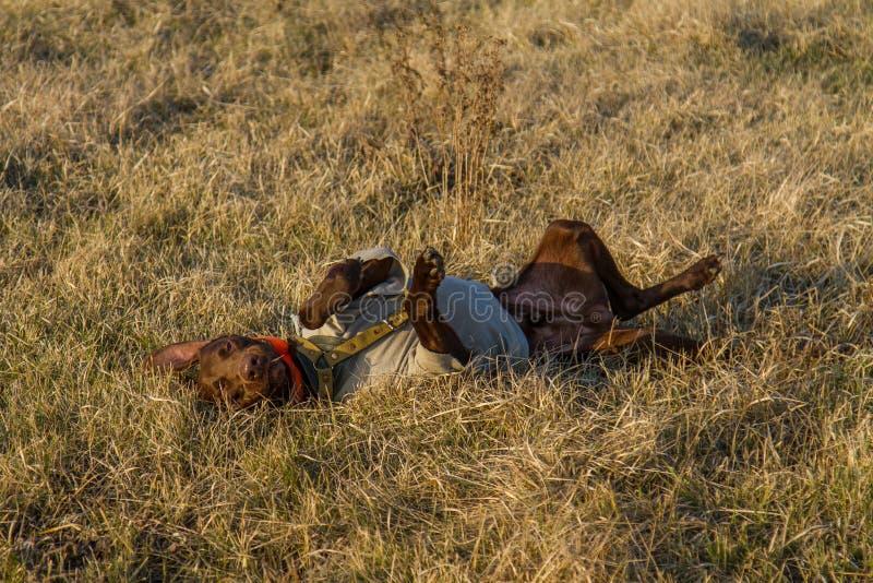 Un cane da caccia del deutsch kurzhaar fotografie stock libere da diritti