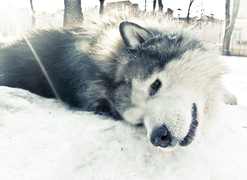 Un cane della razza del malamute che si trova sulla neve fotografie stock libere da diritti