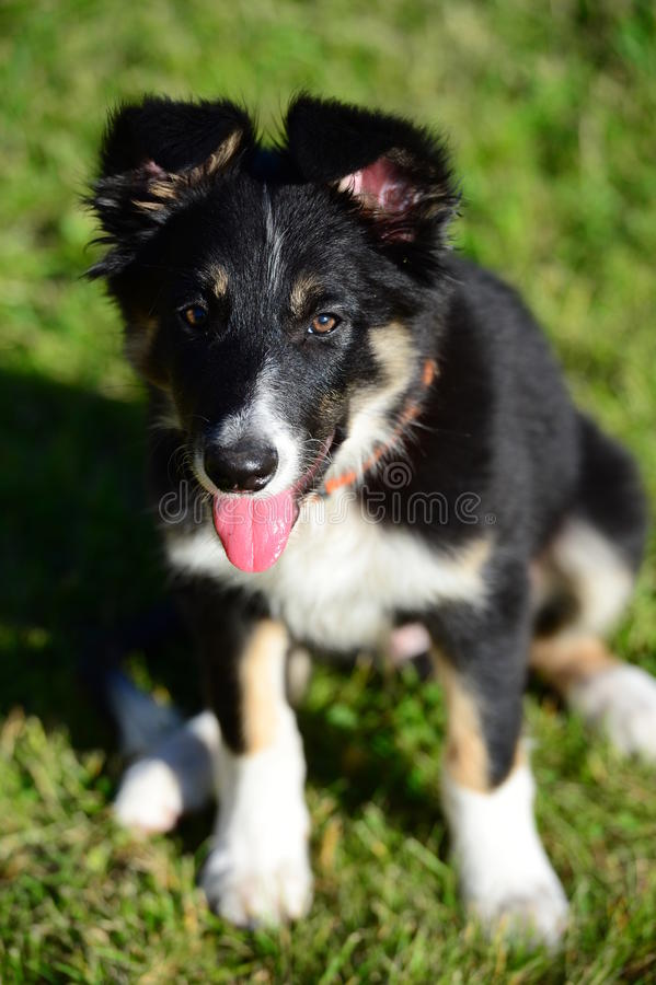 Un cane di cucciolo tricolor del collie di bordo che si siede sui gras immagini stock