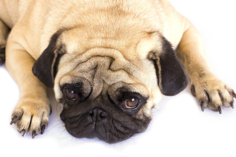 Un cane di menzogne del carlino che sembra triste Isolato fotografia stock libera da diritti