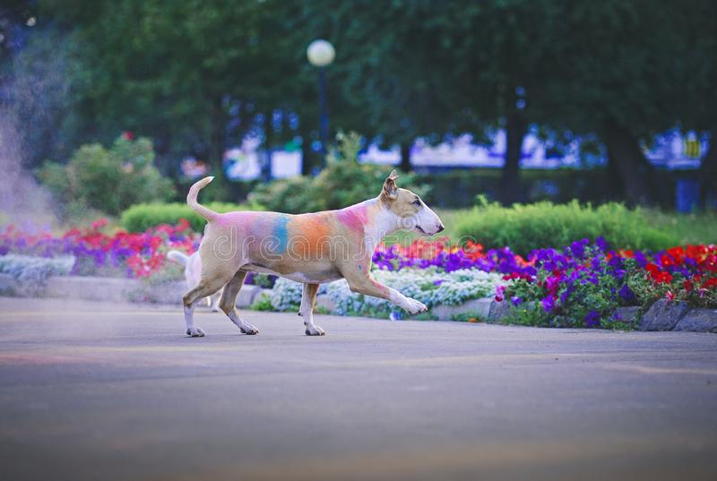 Un cane divertendosi con le pitture del holi immagine stock libera da diritti