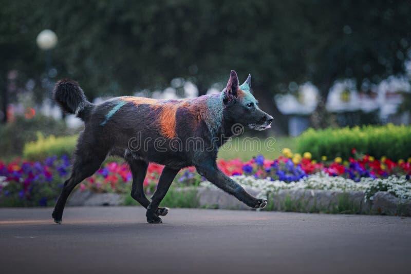 Un cane divertendosi con le pitture del holi fotografia stock libera da diritti