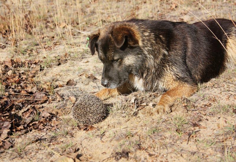Un cane e un istrice Incontrandosi nella foresta fotografia stock libera da diritti