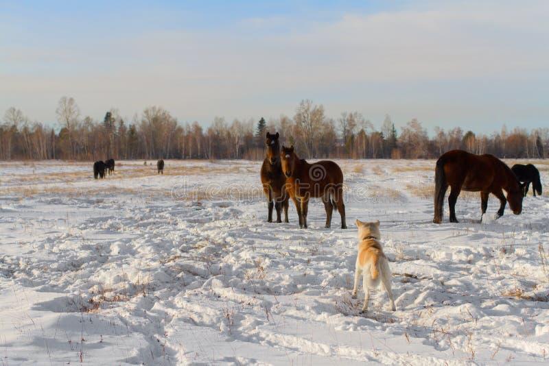 Un cane giapponese di Akita Inu del pastore e un gregge di bei cavalli di baia su un campo dell'azienda agricola nell'inverno su  immagine stock