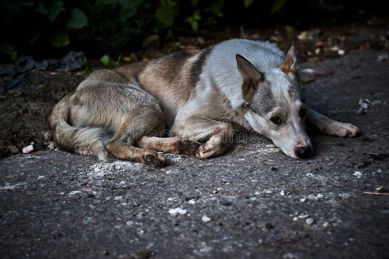 Un cane ibrido smarrito che si trova sulla terra fotografie stock libere da diritti