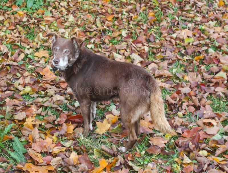 Un cane ibrido sul prato con le foglie gialle di caduta fotografie stock
