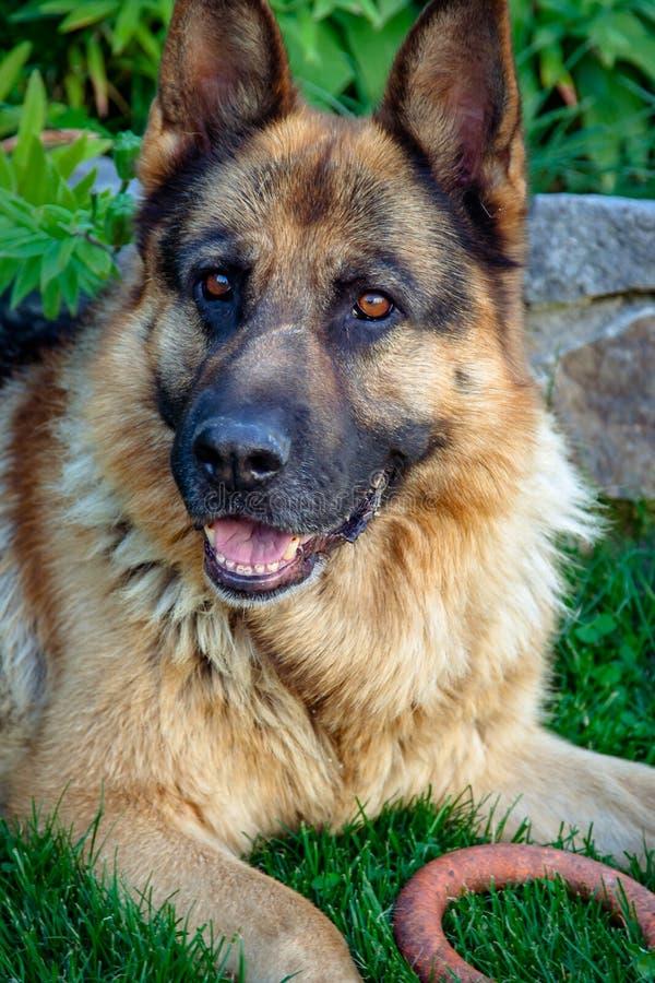 Un cane nell'iarda Favorito domestico nella famiglia immagine stock libera da diritti