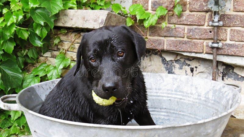 Un cane nero di Labrador che si siede in secchio della vasca da bagno del metallo con pallina da tennis pronta e che sfida per gi fotografie stock