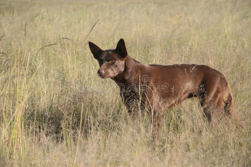 Un cane pastore attento di kelpie fotografia stock libera da diritti