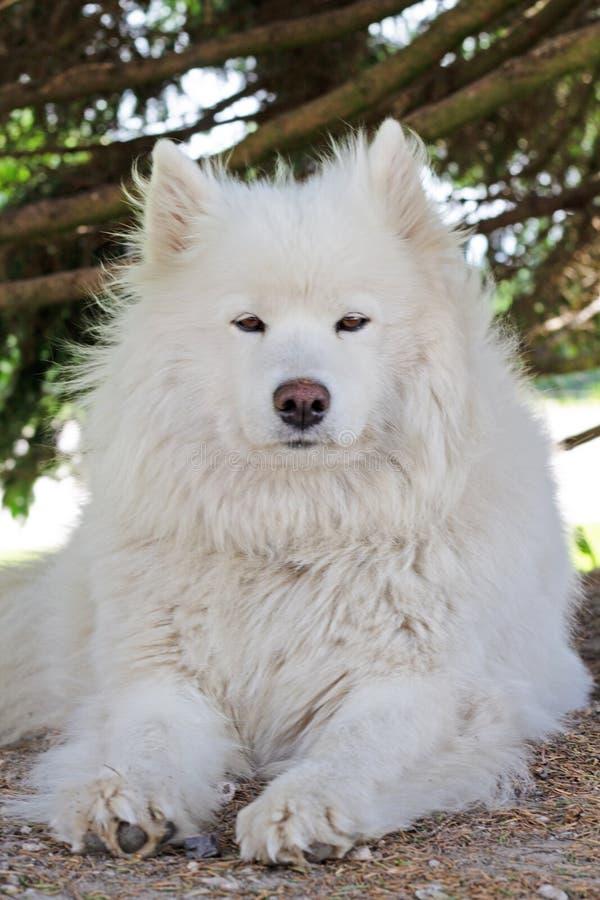 Un cane samoiedo che riposa nell'ombra fotografia stock libera da diritti