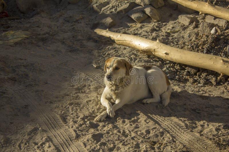 Un cane senza tetto che si trova sulla sabbia immagine stock libera da diritti