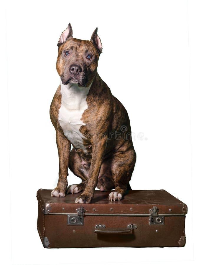 Un cane a strisce rosso sta sedendosi su una vecchia valigia marrone Isolato su fondo bianco fotografie stock