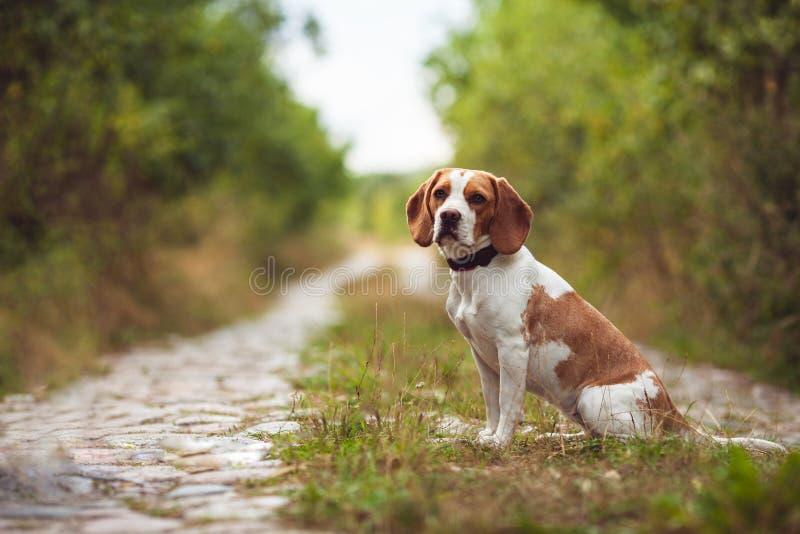 Un cane sveglio del cane da lepre nella natura fotografia stock libera da diritti