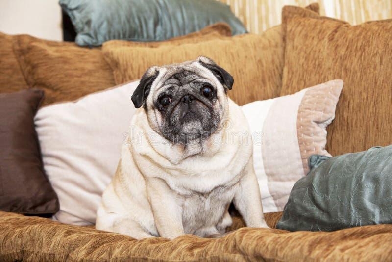 Un cane sveglio del carlino fotografia stock libera da diritti