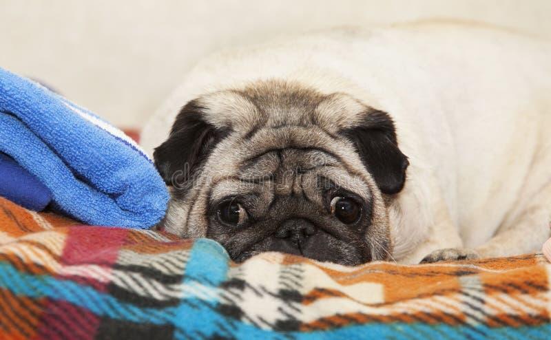 Un cane sveglio del carlino immagine stock libera da diritti