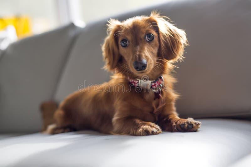 Un cane sveglio piacevole e sveglio del teckel a casa immagine stock