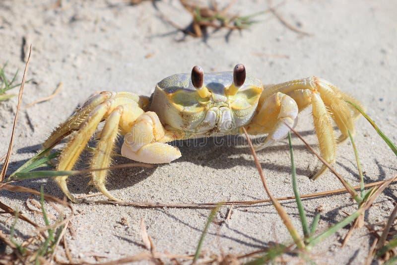 Un cangrejo en la playa, cangrejo atlántico del fantasma, quadrata de Ocypode Isla de Galveston, Texas Gulf Coast, el Golfo de Mé imagenes de archivo