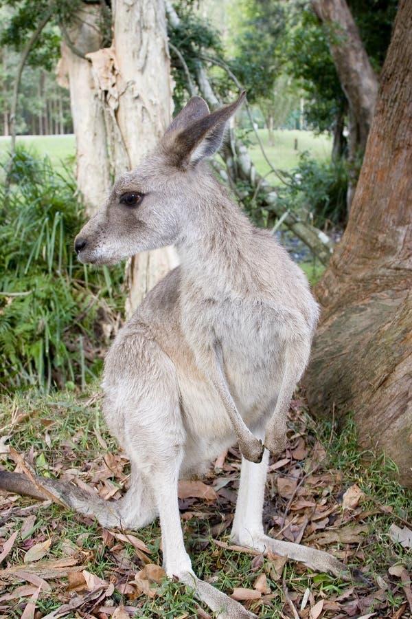 Un canguro da un gumtree al giardino zoologico dell'Australia immagini stock