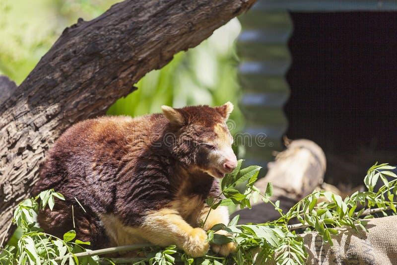 Un canguro di albero che ha un pasto fotografia stock libera da diritti
