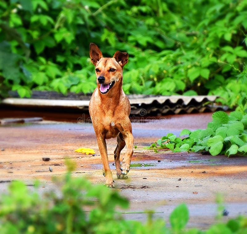 Un canino pomposo fotografie stock