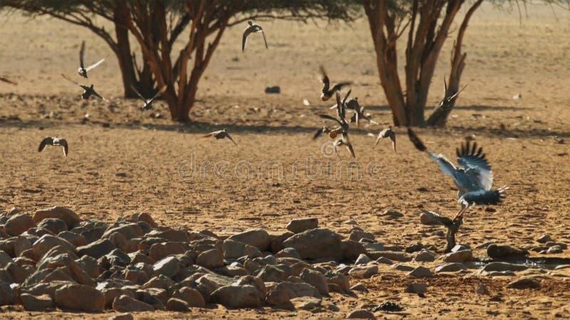 Un canorus pâle de Melierax d'autour de chant chassant dans la savane, parc national d'Amboseli, Kenya photo libre de droits